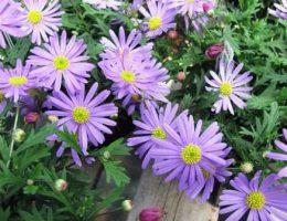 брахикома фото цветов