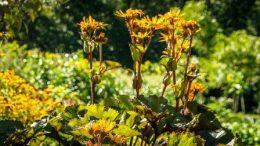 Бузульник (зубчатый и другие виды, сорта) – посадка и уход в саду