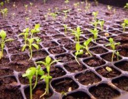 Выращивание рассады сельдерея фото