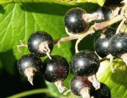 Как правильно посадить смородину