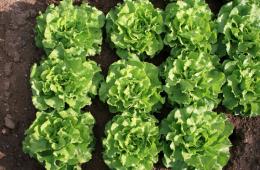 cikornie salati
