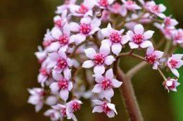 Дармера щитовидная – фото цветка, выращивание в саду