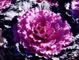 Декоративная капуста – как вырастить: посадка, уход
