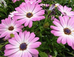 Диморфотека – выращивание из семян, виды и фото цветов
