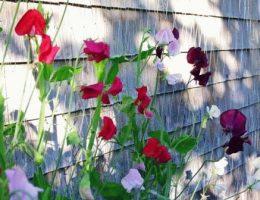 душистый горошек как вырастить на балконе фото