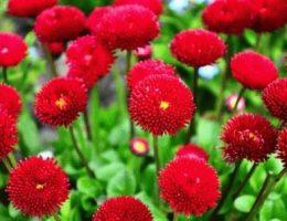 Цветы двулетники: что и когда сажать в саду