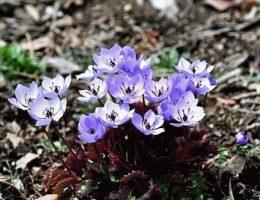 Джефферсония - посадка, уход, размножение растения