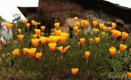 Эшшольция цветы фото