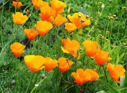 Как же выглядит цветок эшшольция сорта