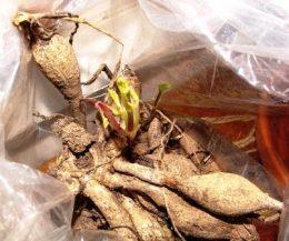 Георгины. Проращивание клубней после зимы