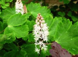 Гейхерелла гибридная – фото, посадка и уход в саду