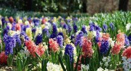 гиацинты в саду фото