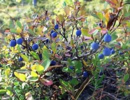садовая голубика посадка и уход