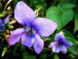 Голубые и синие цветы в саду фото