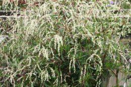 Горец растопыренный растение Таран цветы в саду