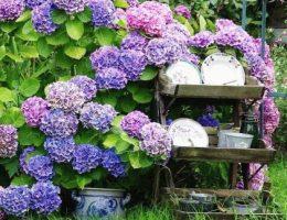 уход за гортензией садовой фото