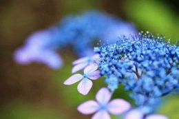 Гортензия крупнолистная (садовая, крупнолистовая) – фото и названия сортов