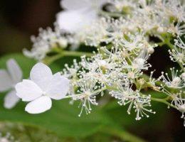 Гортензия черешковая – лазящая лиана, фото, выращивание