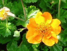 Гравилат: фото цветов, посадка и уход
