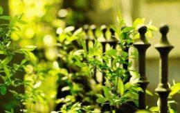 Лучшие кустарники для живой изгороди на даче