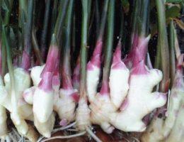 Как вырастить имбирь на даче из корня