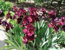 Ирисы в ландшафтном дизайне сада – где и как посадить красиво