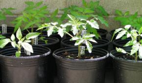 Миниатюра к статье Как выбрать и купить рассаду помидоров на рынке