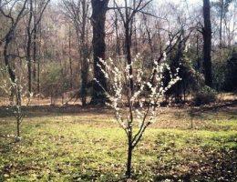 как садить сливу весной правильно фото