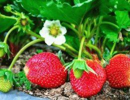Какие сорта клубники лучше выбирать для садового участка