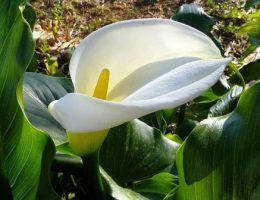 Калла садовая: выращивание и уход за цветами в саду