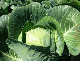 Лучшие новые гибриды капусты белокочанной