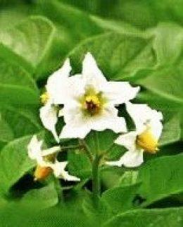 картофель цветы фото
