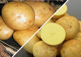kartofel gala