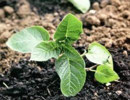 Картофель из семян – выращивание, как собирать семена