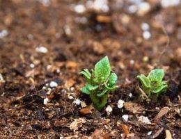 Как выращивать картофель, посадка и уход
