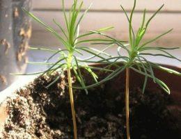 как вырастить сибирский кедр из орешка