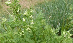 Миниатюра к статье Кервель ажурный — описание, фото, выращивание из семян