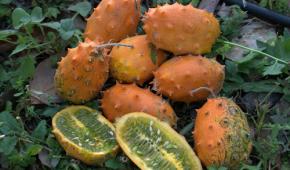 Миниатюра к статье Кивано — что это такое, выращивание из семян