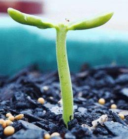как вырастить клематис из семян фото