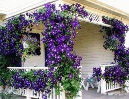 клематис в саду около дома фото
