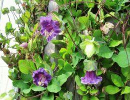 Кобея в саду – выращивание и уход, фото цветов