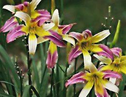 Когда и как сажать лилии правильно