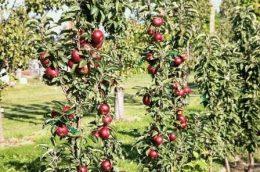 Яблуня колоновидна сорти