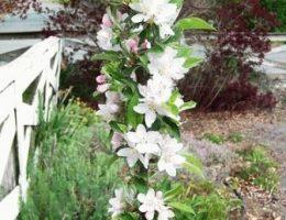 Выращивание колоновидной яблони: посадка, уход, обрезка