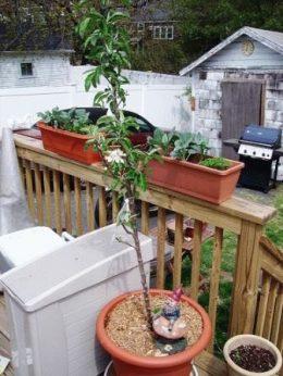 Выращивание колоновидной яблони в горшке