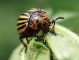 Как бороться с колорадским жуком: средства и профилактика