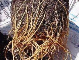 корни клематиса фото
