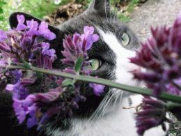 Котовник кошачий – фото, выращивание, свойства растения