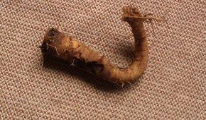 Миниатюра к статье Овсяный корень (козлобородник, устричный корешок) – выращивание и применение