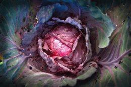 Краснокочанная капуста – сорта, посадка и уход, польза красной капусты